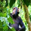 Primate Adventure Rwanda & Congo