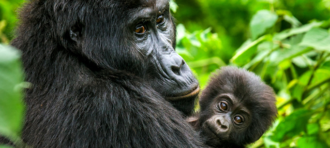 Mountain gorilla tour
