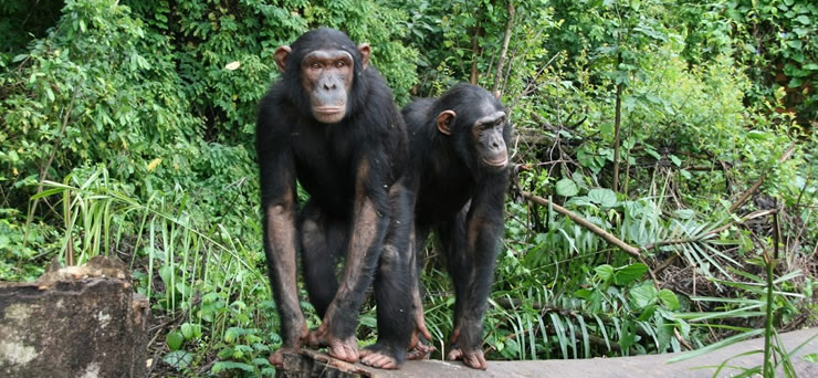 Lwiro Chimpanzee Tracking