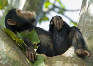 Chimpanzee tracking Rwanda