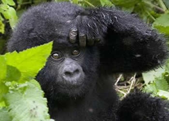 Rwanda Primate Safari 1 Day