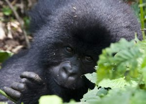 1 Day Volcanoes Gorilla Safari