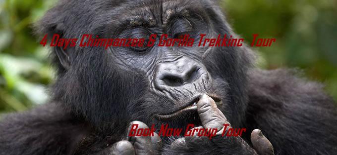 Gorilla Tour & Chimpanzee Trek