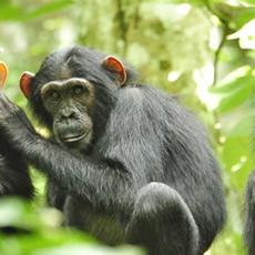 chimpanzee-1