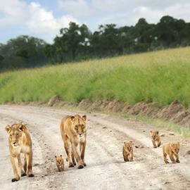 Uganda Wildlife Lion
