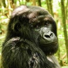 go-gorilla