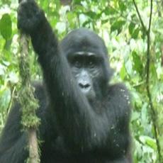 gorilla-34