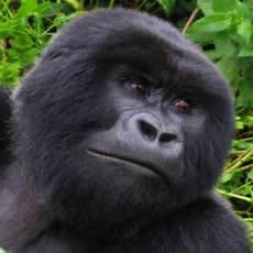 gorilla-5