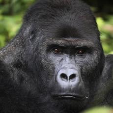 lowland-gorilla-2