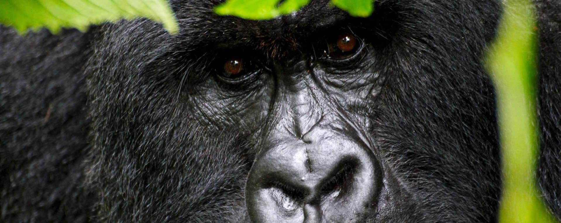 1 Day Rwanda Gorilla Trekking tour & Safaris