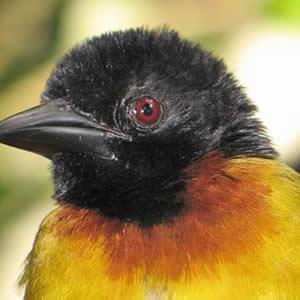 Birding in Congo