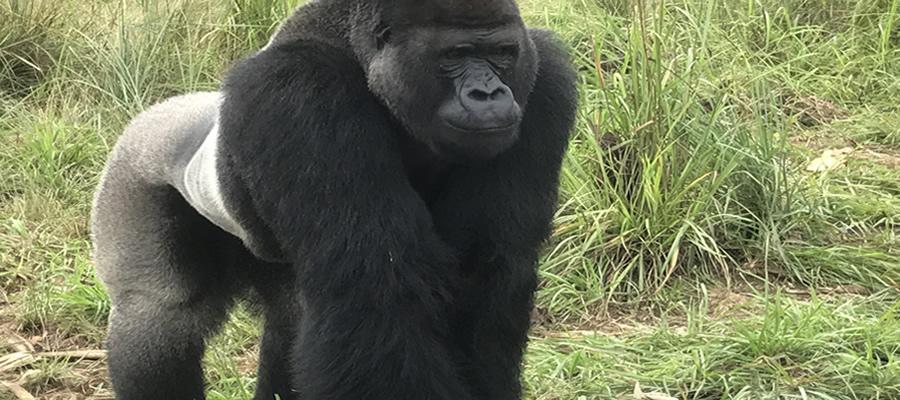 Gorilla Treks in Congo