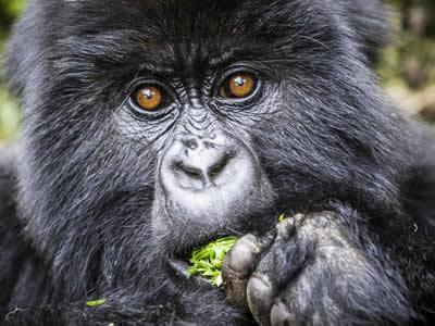Gorilla Safaris Congo