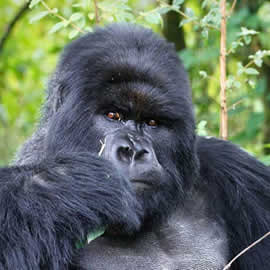 Gorilla Trekking in Uganda & Rwanda