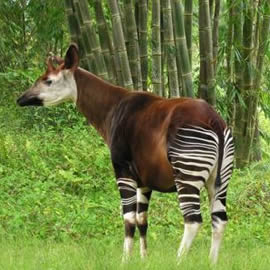 Okapi Wildlife Reserve in Congo